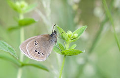 Brown butterfly on plant Royalty Free Stock Photo