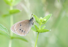 Brown butterfly on plant Stock Images