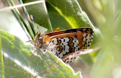 Brown butterfly on a plant Stock Photography