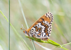 Brown butterfly on a plant Royalty Free Stock Photos