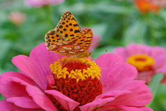 Brown butterfly on purple zinnia Royalty Free Stock Photography