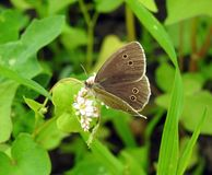 Brown butterfly on flowers, Lithuania. Beautiful brown butterfly on blooming plant in summer royalty free stock images