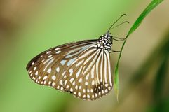 Brown Butterfly. Resting on a plant Royalty Free Stock Photography