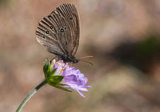 Brown butterfly Ringlet on a blue flower Royalty Free Stock Photography