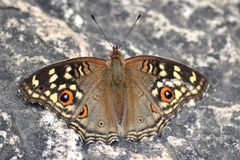 Brown butterfly on rock Royalty Free Stock Images