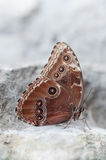 Brown butterfly. Butterfly on the rock in Liguria - Italy Royalty Free Stock Images