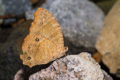 Brown Butterfly on the rock Stock Images