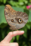 A brown butterfly sits on persons finger. A brown butterfly with beautiful pattern sits on persons finger and does a pee Royalty Free Stock Images