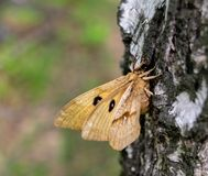 Brown butterfly sitting on a birch tree in the forest royalty free stock photo