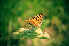 Brown butterfly sitting on a blade of grass. Stock Photo