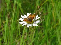 Brown butterfly sitting on a daisy stock photo