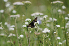 Brown butterfly sitting on a green grass - telephoto. Macro Royalty Free Stock Images