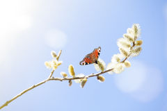 Brown butterfly sitting on lamb's Royalty Free Stock Images