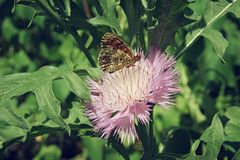Brown butterfly sitting on a pink aster flower close up. Brown butterfly sitting on a pink aster flower close-up Royalty Free Stock Photos