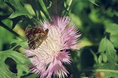 Brown butterfly sitting on a pink aster flower close up selective focus. Brown butterfly sitting on a pink aster flower close up Royalty Free Stock Images