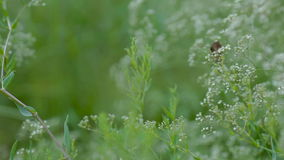 Brown butterfly sitting on a plant almost blowing stock video footage