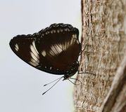 Butterfly sitting on a tree. Brown butterfly sitting on a tree royalty free stock images