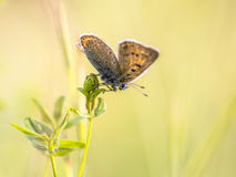 Brown butterfly Sooty Copper on colorful bright background. Brown butterfly Sooty Copper Lycaena tityrus warming in sun with opened wings on colorful bright Stock Photos
