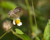 Brown Butterfly and Spanish needle flowers Royalty Free Stock Photography