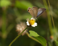 Brown Butterfly and Spanish needle flowers Royalty Free Stock Photos