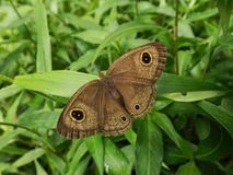Brown butterfly spread the wings to mimic a bigger creature on the green grass. Butterfly spread wings mimic bigger brown creature insect moth royalty free stock photo