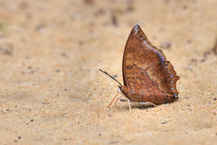 Brown butterfly standing on the ground by pebbles. Royalty Free Stock Image