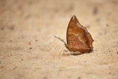 Brown butterfly standing on the ground by pebbles. Stock Photography