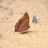 Brown butterfly standing on the ground by pebbles. Stock Images