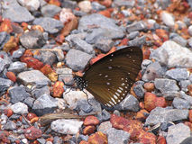 Brown Butterfly on the Stone Field Royalty Free Stock Photo