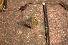 Brown butterfly on stone pavement Royalty Free Stock Images