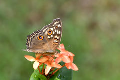 Brown Butterfly. Taken at Coconut Island Resort, Phuket Stock Photography