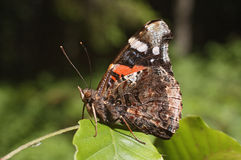 Brown butterfly - Vanessa cardui Royalty Free Stock Photo