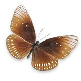Brown butterfly on white background Royalty Free Stock Photos