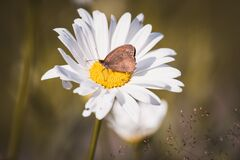 Brown Butterfly on White Daisy Royalty Free Stock Photo