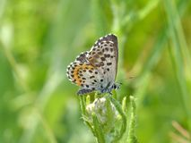 Brown Butterfly with White Dots Stock Images