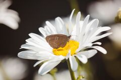Brown Butterfly on White Flower Royalty Free Stock Images