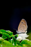 Brown butterfly on white flower and dark background Stock Image