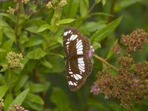 Brown butterfly with a white pattern on wings Stock Image