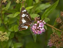Brown butterfly with a white pattern on wings Stock Images