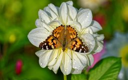 Brown Butterfly on White Petaled Flower Stock Image