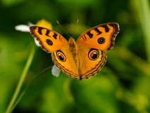 Brown butterfly with wild daisy flowers Royalty Free Stock Images