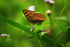 Brown Butterfly. Butterfly wildlife, Thailand, woodland, Green background, Nature of poultry, forest, Brown Butterfly Royalty Free Stock Photography