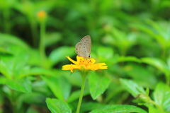 Brown butterfly on yellow cosmos flower. Focus on middle flower and butterfly Stock Image