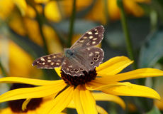 Brown butterfly on yellow flower. Brown butterfly with spread wings on yellow flower Royalty Free Stock Photos