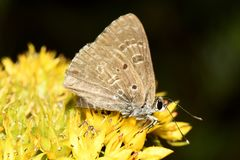 Brown butterfly on yellow flower. Close-up royalty free stock images