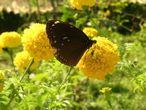 Brown butterfly and yellow flower Royalty Free Stock Photo