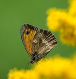 Brown butterfly on yellow flower. Gatekeeper butterfly on golden rod flower Stock Images