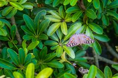 Brown butterfly with yellow and white polka dots on green leaves, beautiful in nature. Brown butterfly with yellow and white polka dots on green leaves stock images