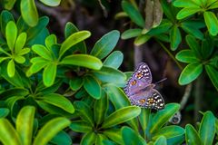 Brown butterfly with yellow and white polka dots on green leaves, beautiful in nature. Brown butterfly with yellow and white polka dots on green leaves stock image