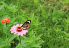 Brown butterfly on zinnia flower Royalty Free Stock Photography
